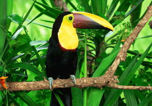 Wild toucan in Costa Rica