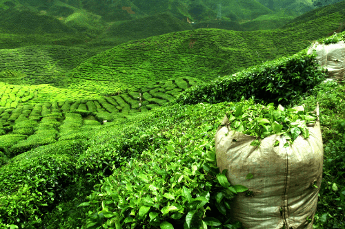 Tea plantation, Seychelles