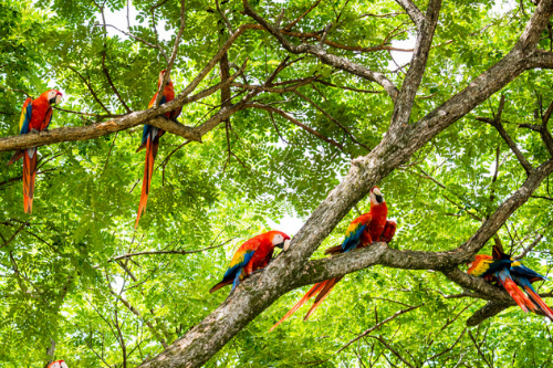 Macaw parrots in Costa Rica